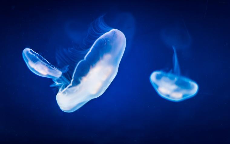 Jellyfish_1280px